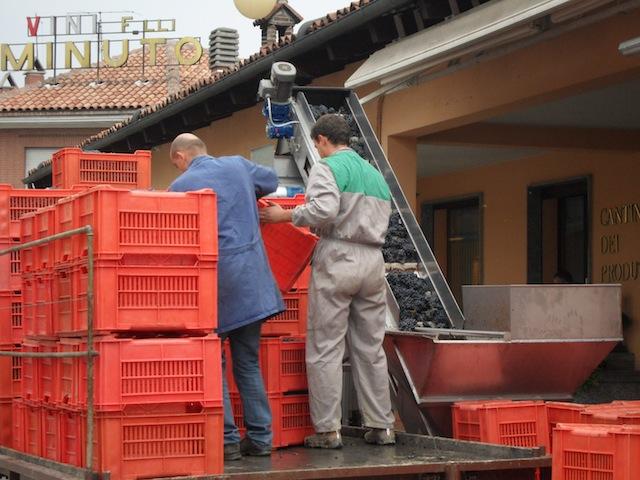 Nebbiolo harvest 2010